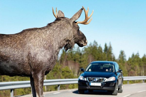 Большой лось на дороге