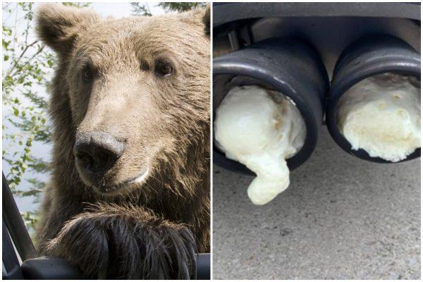 Медведь в Ладе и залитая пеной выхлопная труба: автособытия недели